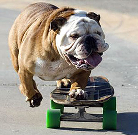 Skateboard That pug knows whats up