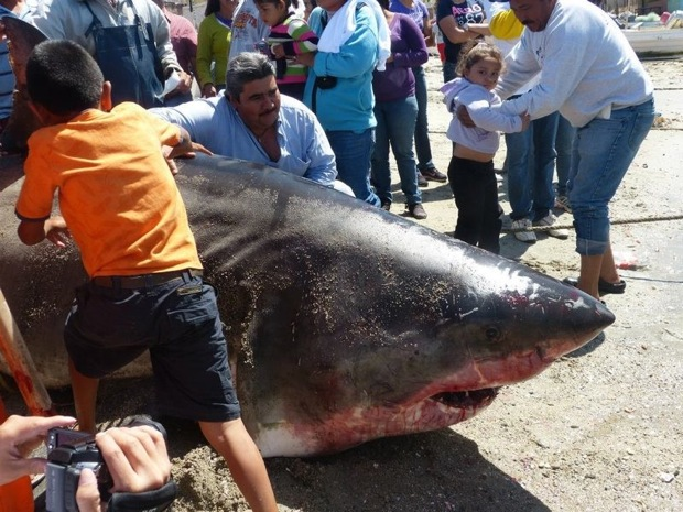Fishing Enormous great white shark hauled up by Sea of Cortez fishermen