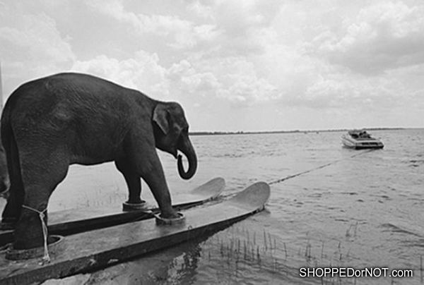 Entertainment elephant water skiing