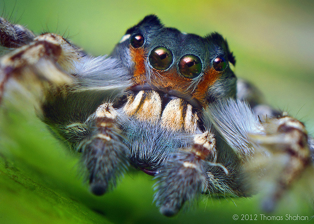 Entertainment Male Phidippus putnami Jumping Spider