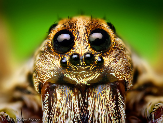 Entertainment Eye Arrangement of a Hogna Wolf Spider