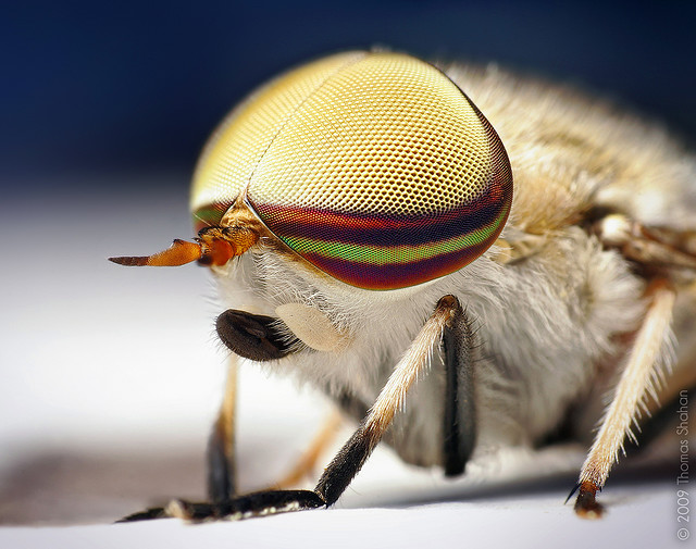 Entertainment Male Striped Horse Fly (Tabanus lineola)