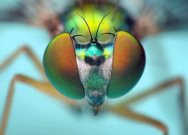 Entertainment Head of a Longlegged Fly - (Condylostylus)