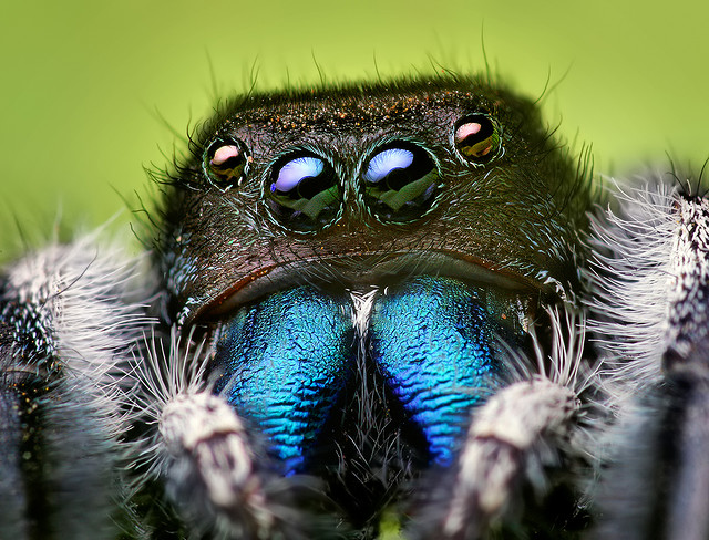 Entertainment Adult Male Phidippus audax Jumping Spider