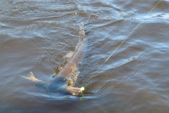 Fishing A northern pike takes a hooked walleye for his own... from time to time anglers net two fish at once in a scenario such as this one