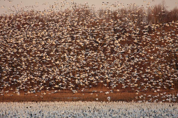 A Blizzard of Snow Geese, Bombay Hook National Wildlife Refuge, DE