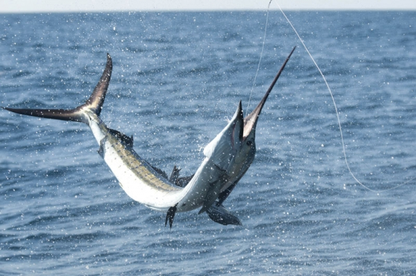 Fishing Light-Tackle Sailfish