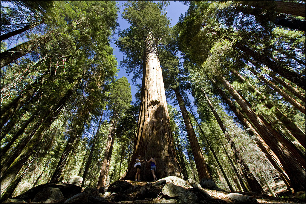 Camp and Hike Sequoia National Park - Towering trees