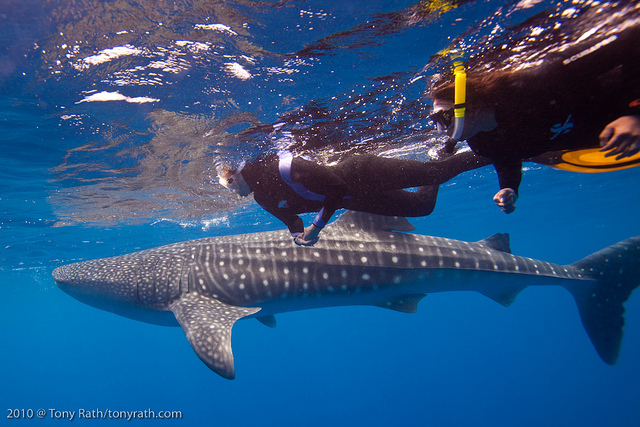 Scuba Whale shark diving at Gladden Spit, Belize