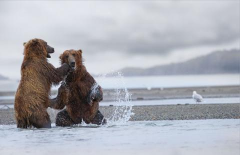 Two brown bears sparred on the shoreline of Katmai National Park and Preserve