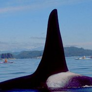 Kayak and Canoe An Orca whale up close, Johnstone Strait, British Columbia