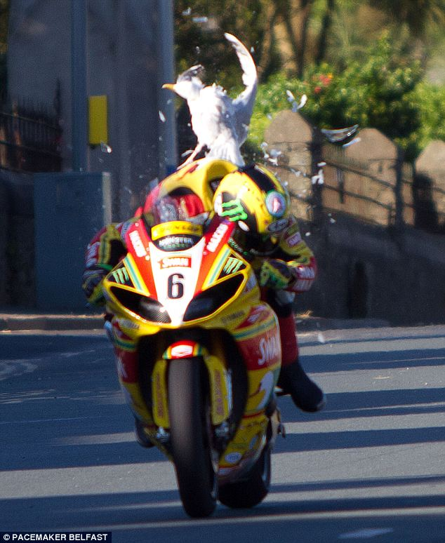 Motorsports Bird Strike! Isle of Man TT rider ducks for cover as low-flying sea gull collides with his Superbike at a blistering 170mph
