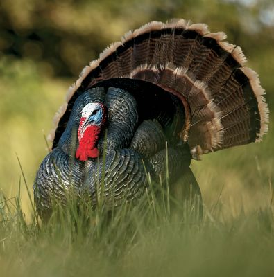 Hunting These turkey decoys are the solution for -shy or dominant toms that dont consider a jake enough of a threat to risk leaving the safety of cover. Made with A.C.E. resin, the specialized body actually reseals its own surfaces for an entirely worry-free, no-hesitation shooting experience. This rugged, lifelike decoy is tough enough to withstand repeated attacks from aggressive birds as well as gunshots. Each DSD Strutter decoy has been tested and proven to be ultradurable and weatherproof. Each accepts a real tail fan, wings and beard (all not included) for added realism and conversion from jake to tom and vice versa. Decoys come complete with tools to attach your own tail fan, wings and beard, carry bag and motion stake. Dimensions: 15L x 15W x 18H. - $199.99
