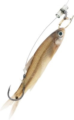 Fishing The nose ring keeps live bait alive and swimming naturally. The hook can be placed anywhere on any size bait for better hook up, and a peg holds the line in place. Highly effective, its easy to rig. Per 3.Size:30-lb. line/3/0 hook - $7.99